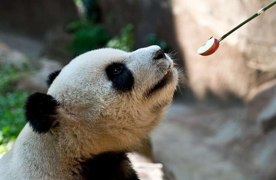 Care for a kebab? Fu-Wan accepts an apple wedge from a keeper at the Giant Panda Complex enclosure at the National Zoo in Kuala Lumpur. Fu-Wan is one of two giant pandas on loan from China to mark the 40th anniversary of Malaysia-China diplomatic relations. Photo: Manan Vatsyayana, AFP/Getty Images