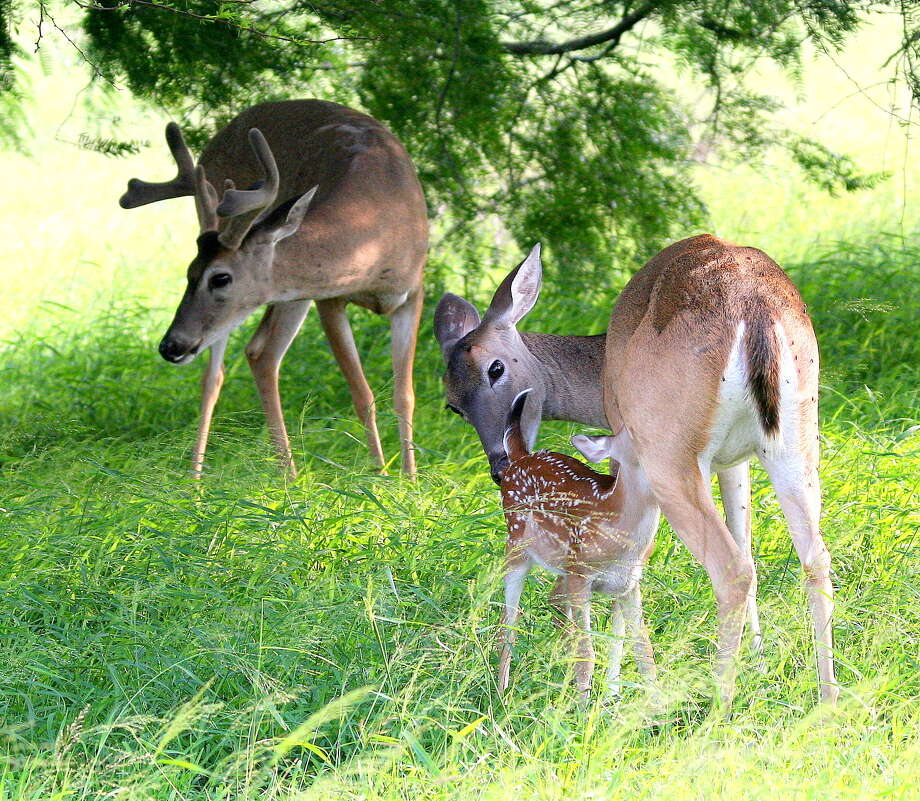 Texas white-tailed deer are poised to benefit from a mild spring/early summer and timely rains, which triggered a flush of vegetation crucial to fawn survival and antler development in bucks. Photo: Picasa