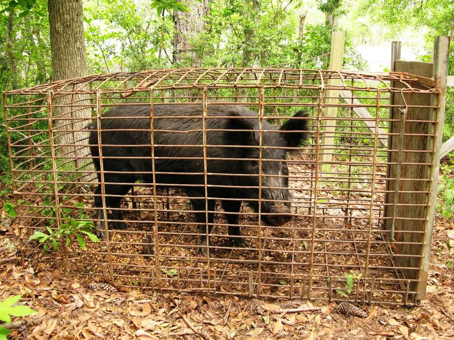 A food preservative used in bacon may be the next option used by Texas in order to combat the state's massive feral hog problem. Mankind's lust for irony knows no bounds. Wait, will this affect the taste of the pig's meat?  Photo: John Schmidt, AP / trapperjohnschmidt.com