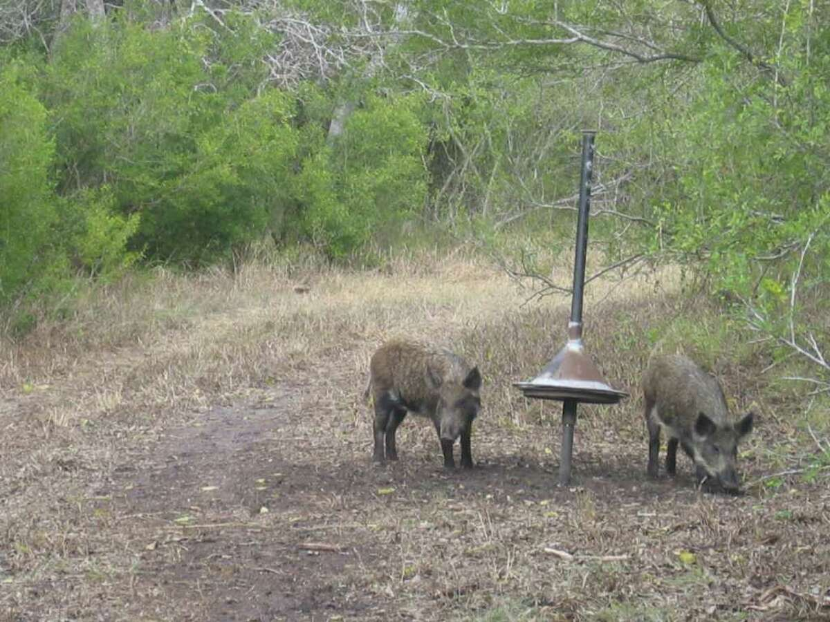 Two feral hogs search for food around one of the devices scientists are testing in the search for a poison-delivery system that they hope will reduce the number of wild hogs across the country. Researchers said the cone on this device on a wildlife refuge near Sinton can be slid up only by hogs, keeping other animals from getting at bait - and eventually poison - underneath the cone. The system is still years from certification. (photo shot in December 2008)