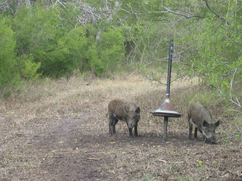 Two feral hogs search for food around one of the devices scientists are testing in the search for a poison-delivery system that they hope will reduce the number of wild hogs across the country. Researchers said the cone on this device on a wildlife refuge near Sinton can be slid up only by hogs, keeping other animals from getting at bait – and eventually poison - underneath the cone. The system is still years from certification. (photo shot in December 2008) Photo: COURTESY PHOTO