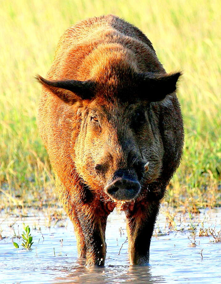 "Described by some wildlife managers as ""four-legged fire ants,"" Texas'  population of economically and environmentally destructive feral hogs has exploded to an estimated at 2.6 million and continues expanding  despite hunters annually taking 750,000 of the swine. Houston Chronicle photo by Shannon Tompkins Photo: Picasa"