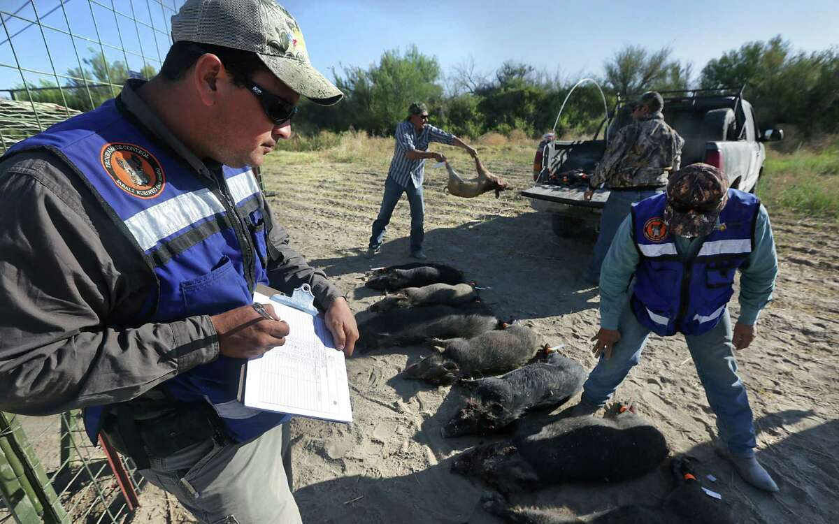 Leonel Duran, an animal control agent for the Mexican state of Chihuahua, takes notes on hogs that were trapped and killed on a farm just outside Ojinaga, where the creatures are destroying crops.