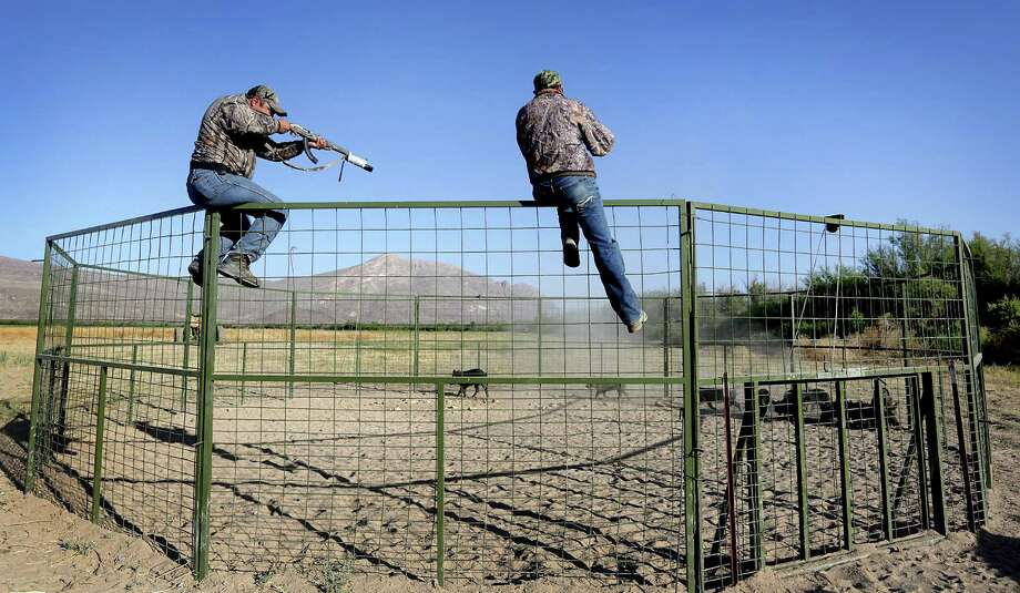 Exotic animal control agents take aim at trapped feral hogs on a ranch just outside Ojinaga, Mexico on  Tuesday, May 13, 2014. Photo: BOB OWEN, San Antonio Express-News / © 2012 San Antonio Express-News