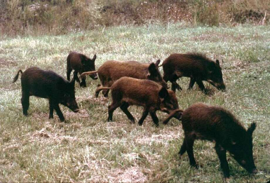 Feral hogs are probably the most destructive wild animals in the state and one Texas researcher had hoped to slow their rapid reproduction with a birth control pill, but that hasn't worked out well.