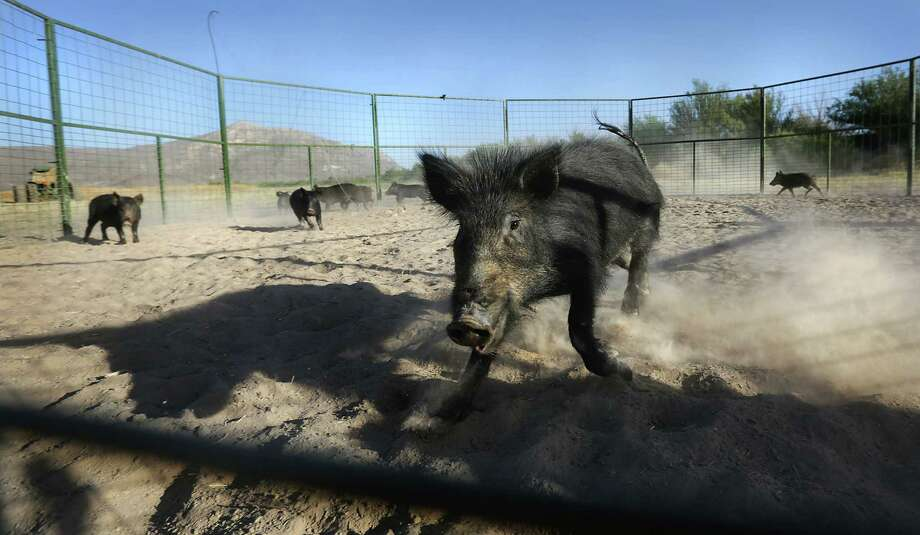A feral hog charges in an attempt to escape from captivity.  A  total of 14 hogs were trapped and killed by exotic animal control agents on a farm just outside Ojinaga, MX. The hogs are destroying crops and the State of Chihuahua is attempting to reduce the number of the animals.  Since there is little to no farming across the river in Presidio County, it is believed the hogs are coming from the US in search of food. Tuesday, May 13, 2014. Photo: BOB OWEN, San Antonio Express-News / © 2012 San Antonio Express-News