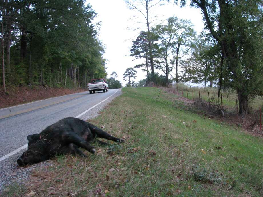 Distraction: Dead animalsWhere: Anywhere life exists, so must deathWhy: Houston drivers have an uncanny respect for roadkill, so much so that they'll sometimes veer off their lanes to avoid running over an already dead animal. Photo: Billy Higginbotham, Texas A&M AgriLife Extension Service