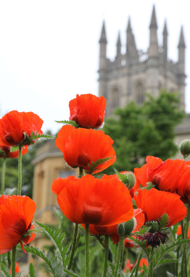 Papaver orientalis, one of the 5,000 plant species thriving at the University of Oxford's Botanic Garden, the oldest in Britain, bloom with Magdalen College's tower in the distance. Photo: Oxford Botanical Garden / The Washington Post