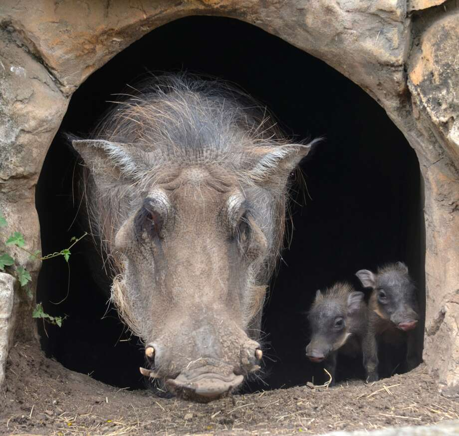 The San Antonio Zoo has adopted two newborn warthogs, born June 14. (Photos provided by the San Antonio Zoo)