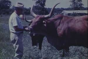 E. H. Marks surveys the longhorns at his LH7 Ranch in Barker in July 1961, from the Marks Family Films.