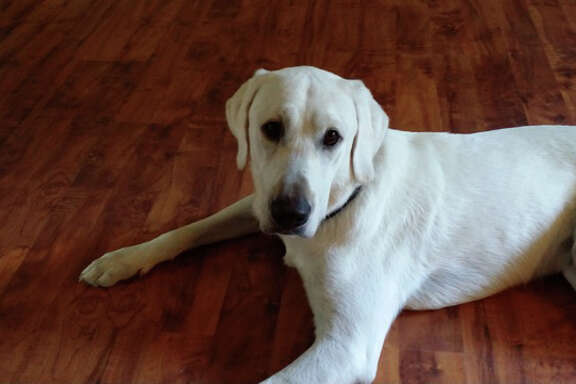 Hoffy, a 14-month-old white Labrador retriever, has been in training for about year to become a Patriot Paws Service Dog to help wounded veterans.