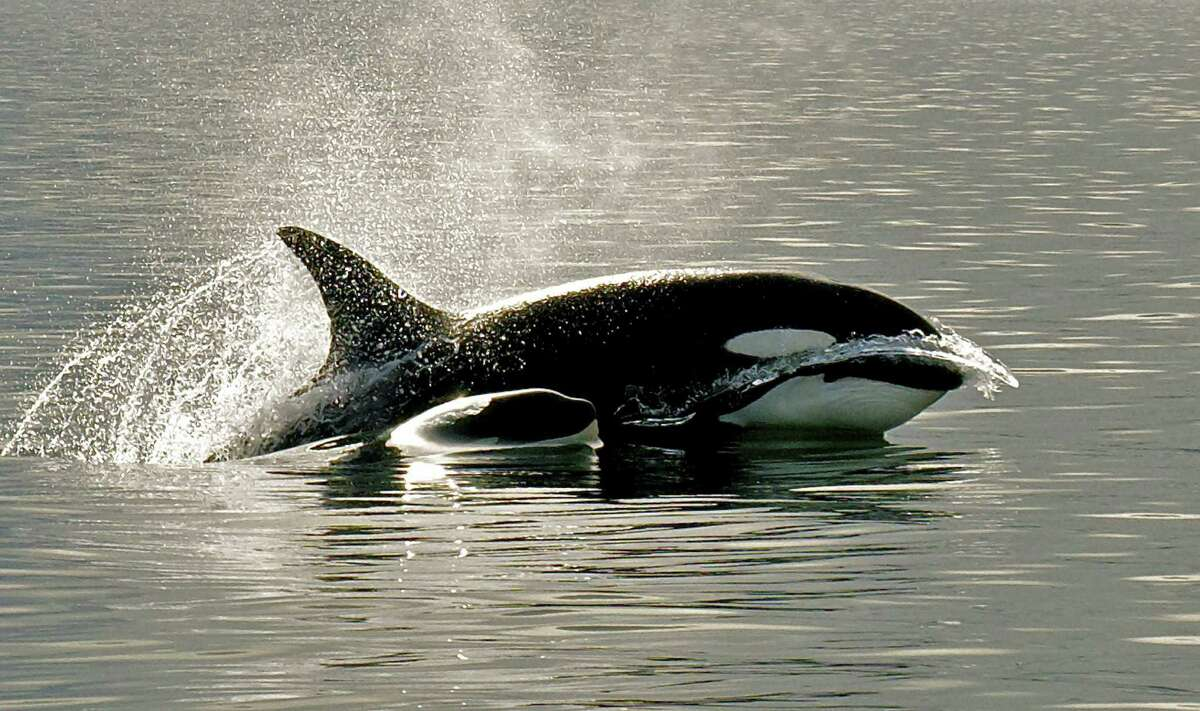 There are three resident pods of orcas, aka