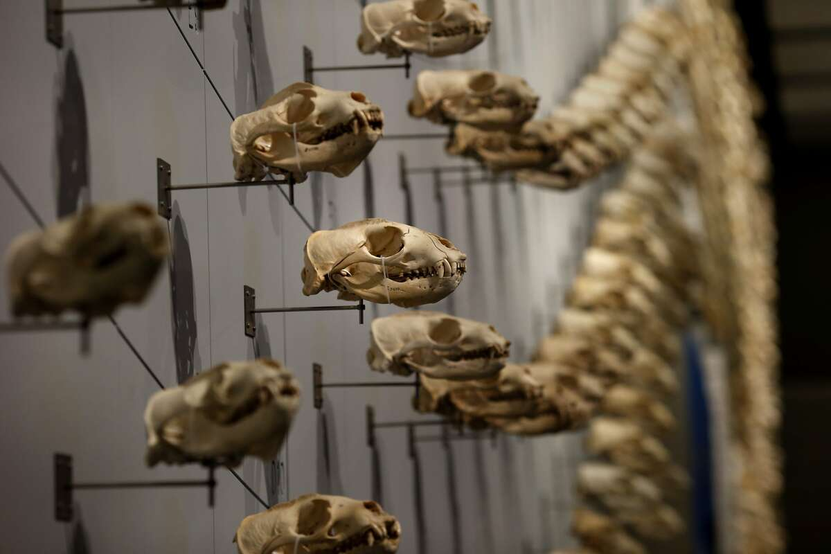 A Sea of Sea Lion skulls display is courtesy of collector and curator Ray Bandar in San Francisco, Calif. The California Academy of Sciences new exhibit called