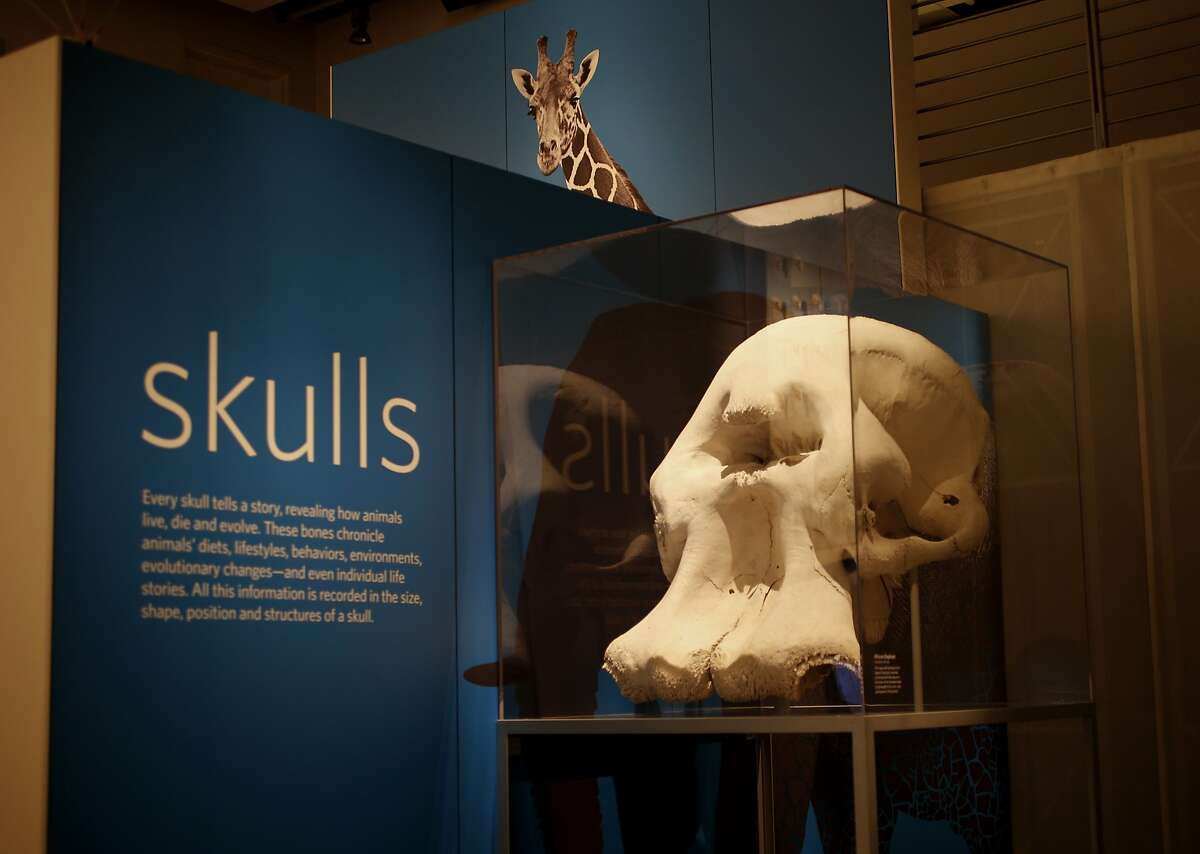 The massive skull of an African elephant is near the entrance to Skulls at the California Academy of Sciences in San Francisco, Calif. The California Academy of Sciences new exhibit called