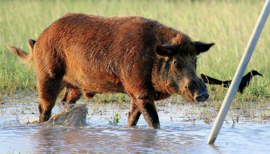 Feral hogs are as adaptable and prolific as they are destructive. Wildlife managers estimate it would take annually removing two-thirds of the pig population, estimated to be 2.6 million swine, to stabilize the population. Houston Chronicle photo by Shannon Tompkins Photo: Shannon Tompkins