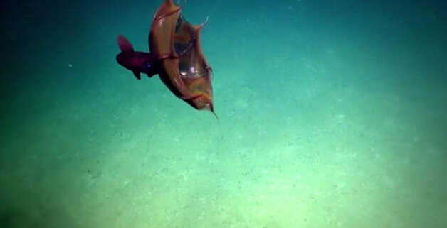 """Gulf researchers were treated to a rare sighting of a """"Vampire Squid from Hell"""" as they operated an unmanned submersible at depths of over 3,000 feet. Photo: Nautilus Live"""