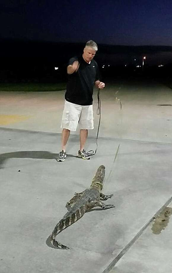 "Capt. Mike McCoy of the Fulshear Police Department prepares to ""leash"" an alligator blocking a restaurant drive-through, June 26, 2014. ""I don't know what I was thinking,"" he said. (photo courtesy Fulshear Police Department) Photo: Courtesy Photo"