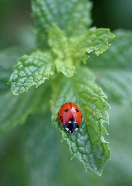 A lady bug patrols a mint plant in William Burch's corner garden  designed by Edible Earth Resources.   ( Karen Warren / Houston Chronicle  ) Photo: Karen Warren, Staff / © 2014 Houston Chronicle