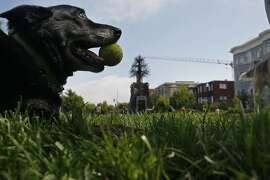 A dog rests with a tennis ball in his mouth after playing fetch at Patricia's Green in San Francisco, Calif. on Friday, June 6, 2014. The park on Hayes and Octavia St. offers things such as coffee, ice cream and beer.