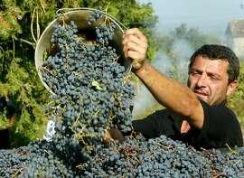 Villager Gocha Natroshvili empties a basket of black grapes during a traditional harvest in village of Vazisubani in Georgia's Kakheti region.