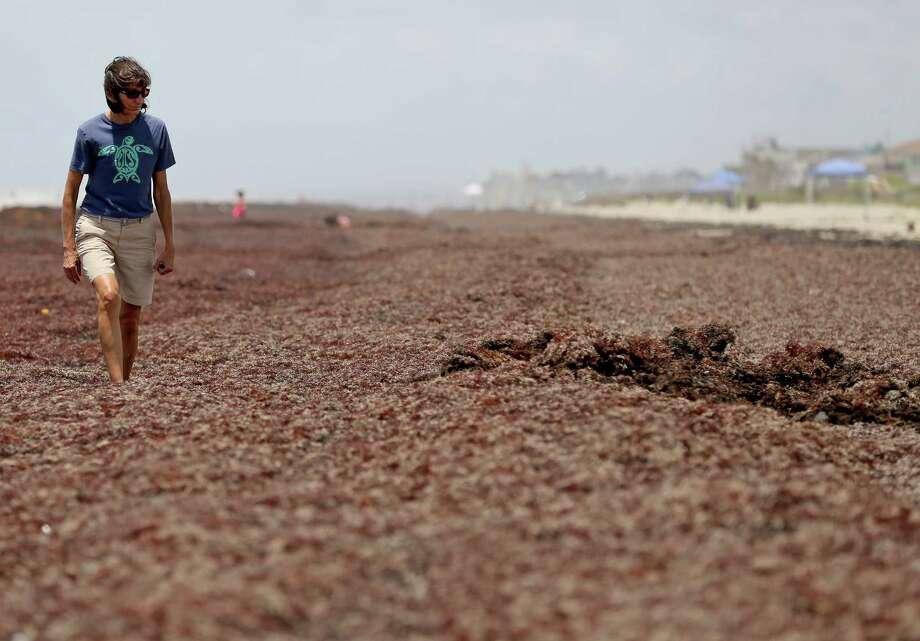 Joanie Steinhaus, Galveston representative of the Sea Turtle Restoration Project, looks for trash and stuck turtles in the seaweed on a Galveston beach. Photo: Thomas B. Shea / © 2014 Thomas B. Shea