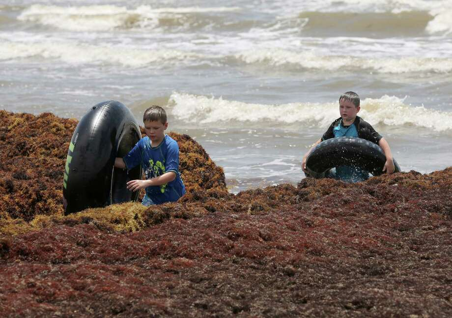 Go turtle spottingIf seaweed is your thing though, Galveston often has plenty of that.  Volunteers go out to help look for endangered turtles trapped on the sargassum as it washes ashore. Get involved for free. Photo: Thomas B. Shea / © 2014 Thomas B. Shea
