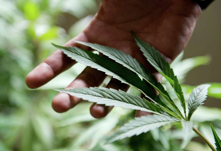 In this Dec. 9, 2013 file photo, marijuana grower Marcelo Vazquez checks the leaves of his plants for fungus, on the outskirts of Montevideo, Uruguay. A marijuana growing club is taking steps to be the first officially recognized in Uruguay, where lawmakers have made their country the world's first national marketplace for legal pot. The Association of Cannabis Studies of Uruguay began the process by registering with the Education and Culture ministry, Drug Control Chief Julio Calzada said on Tuesday, June 24, 2014. Photo: Matilde Campodonico, AP  / AP