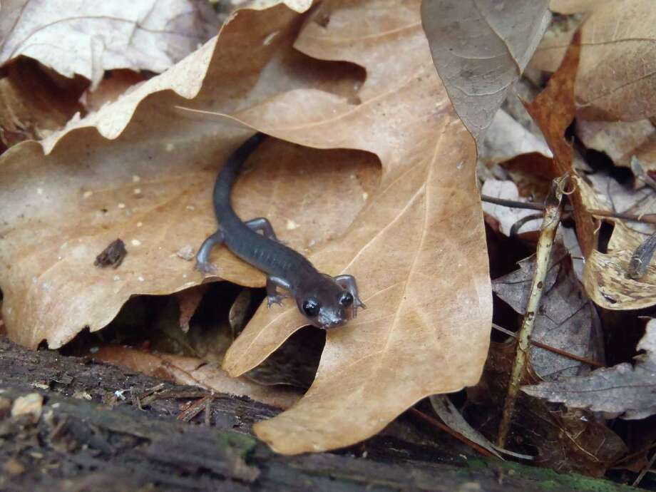 This March 23, 2012 photograph provided by the University of Maryland shows a Northern gray-cheeked salamander of the native Appalachian mountain range salamander species that has gotten significantly smaller. Scientists say salamanders in the mountain range are getting smaller in response to climate change. Photo: Nicholas M. Caruso, AP  / University of Maryland