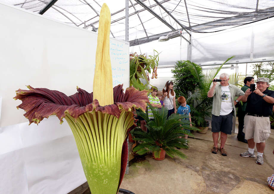 Visitors view and photograph a corpse flower blooming at Michigan State University's Plant Biology Conservatory in East Lansing, Mich., Tuesday June 24, 2014. The plant last bloomed in 2010. The significant smell and the bloom last a very short time. Photo: Rod Sanford, AP  / AP2014