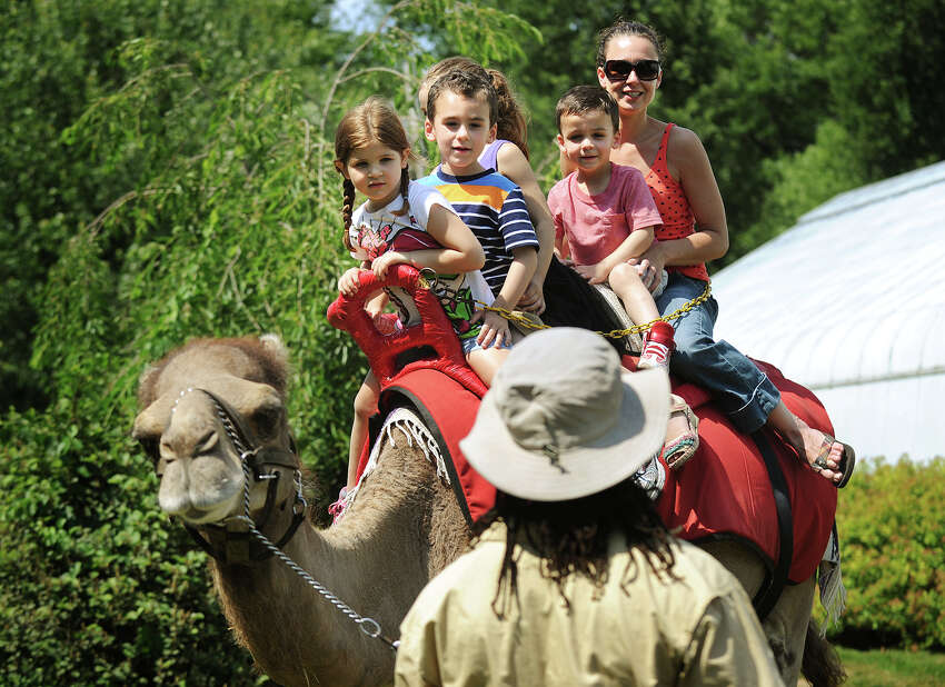 From left; Julia Kunkel, Cameron Moreira, Averi Kunkel, Brandon Moreira, and Jessica Moreira, of Wolcott, take a ride on Noah the camel at the Beardsley Zoo in Bridgeport, Conn. on Sunday, June 29, 2014.