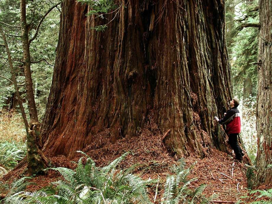 Redwood trees are never far away… Photo: Michael Taylor, AP