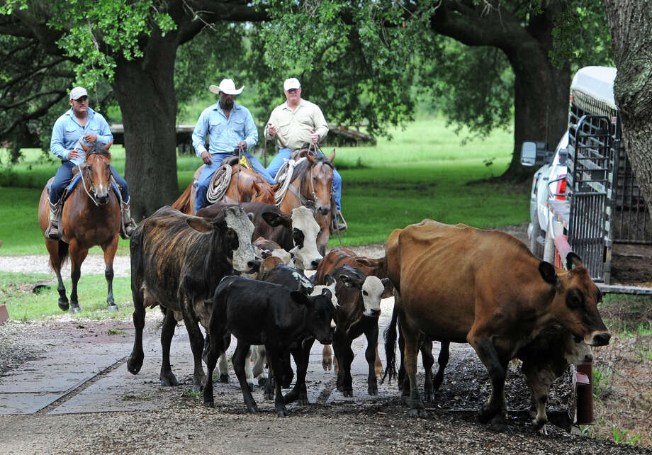 From left, Ponch Hernandez, Artie Guillory and Chuck Kiker roundup cattle at the Oak Knoll Farm in Fannett on Friday. Photo taken June 27, 2014 Guiseppe Barranco/@spotnewsshooter Photo: Guiseppe Barranco, Photo Editor