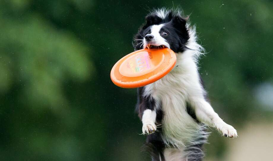 Hard disk retrieval: Aislinn the border collie leaps to snag a Frisbee in mid-air during a doggy acrobatics event in Magdeburg, Germany. Photo: Lukas Schulze, Associated Press