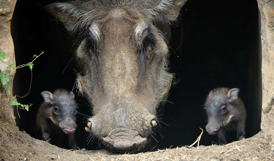They're so cute before the tusks come in: The San Antonio Zoo introduces Sekini the warthog's new baby piglets, born about two weeks ago. Photo: Associated Press