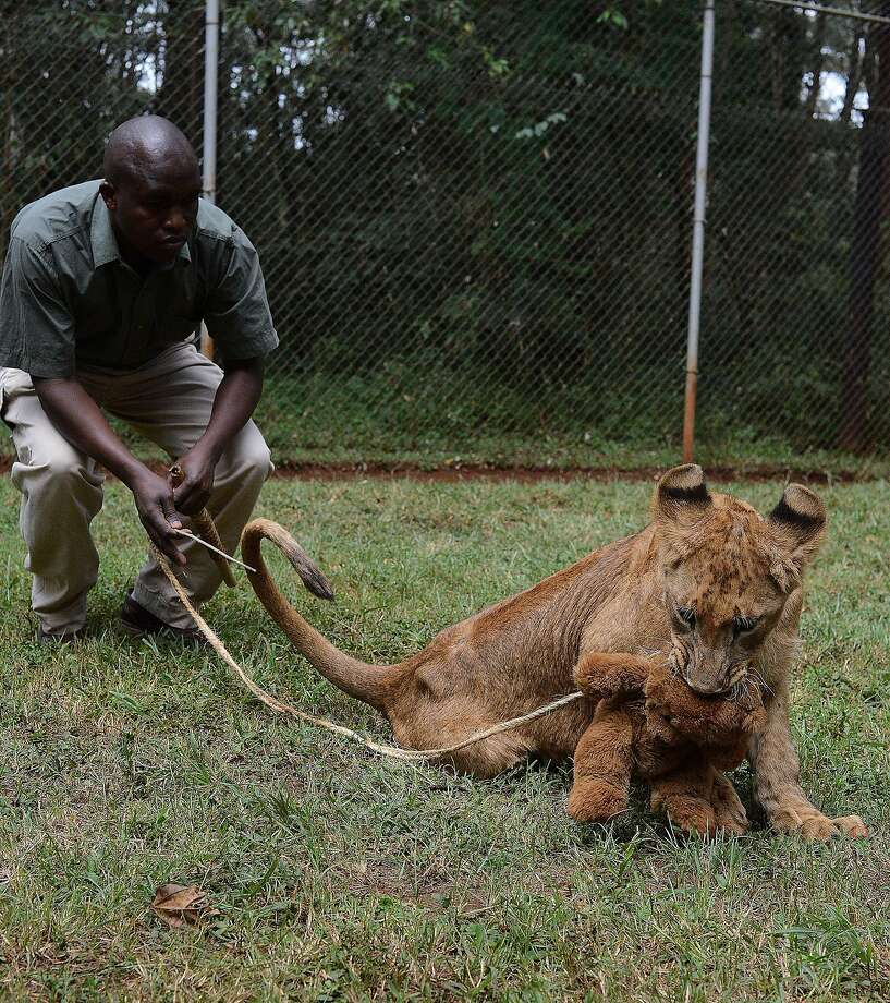 Teddy's cruel fate:Tumani, a lion cub at the Kenya Wildlife Service in Nairobi, practices her hunting skills on an unsuspecting stuffed bear. Photo: Simon Maina, AFP/Getty Images