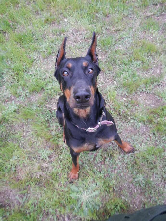 After being rescued from pot-crop guard duty, this Doberman had trust and leash issues. Now Laura is well loved and safe. Photo: Courtesy Shirley Zindler