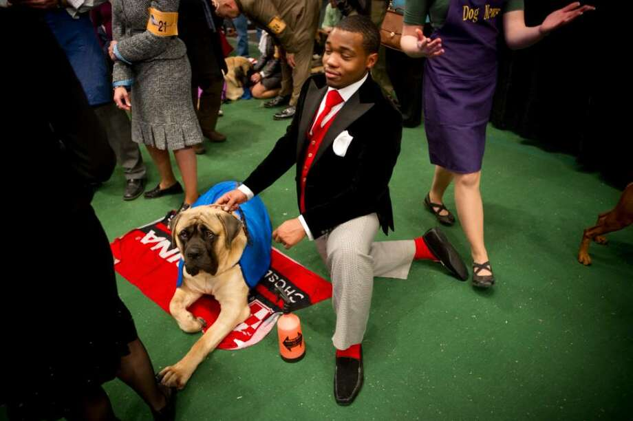 Remy Smith-Lewis, of Suisun waits with Giambi, an English mastiff before competing during the 134th Westminster Kennel Club Dog Show at Madison Square Garden in New York on Tuesday, Feb. 16,  2010. Photo: Chris Preovolos / Stamford Advocate