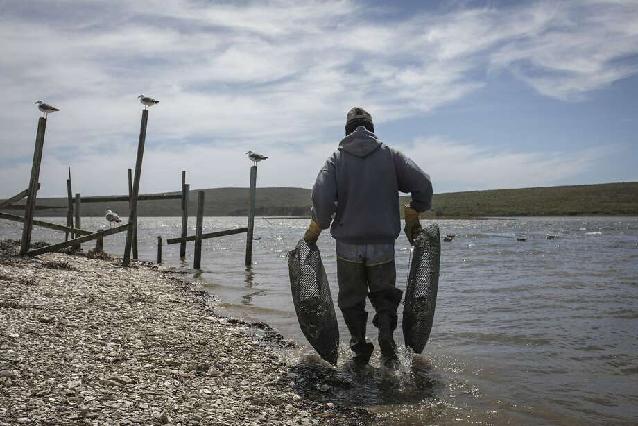 A worker hauls traps at Drakes Bay Oyster Co. in Inverness. The U.S. Supreme Court has refused to hear an appeal of a federal order that would close the oyster farm, but the owners say they will continue their fight. Photo: Sam Wolson, Special To The Chronicle