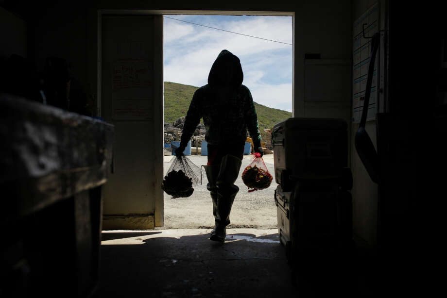 A worker carries oysters inside at Drakes Bay Oyster Farm in Inverness on June 30th 2014. The U.S. Supreme Court decided not to hear the farmÕs challenge to its proposed closure by federal authorities, on June 30th 2014. Photo: Sam Wolson / Special To The Chronicle / ONLINE_YES