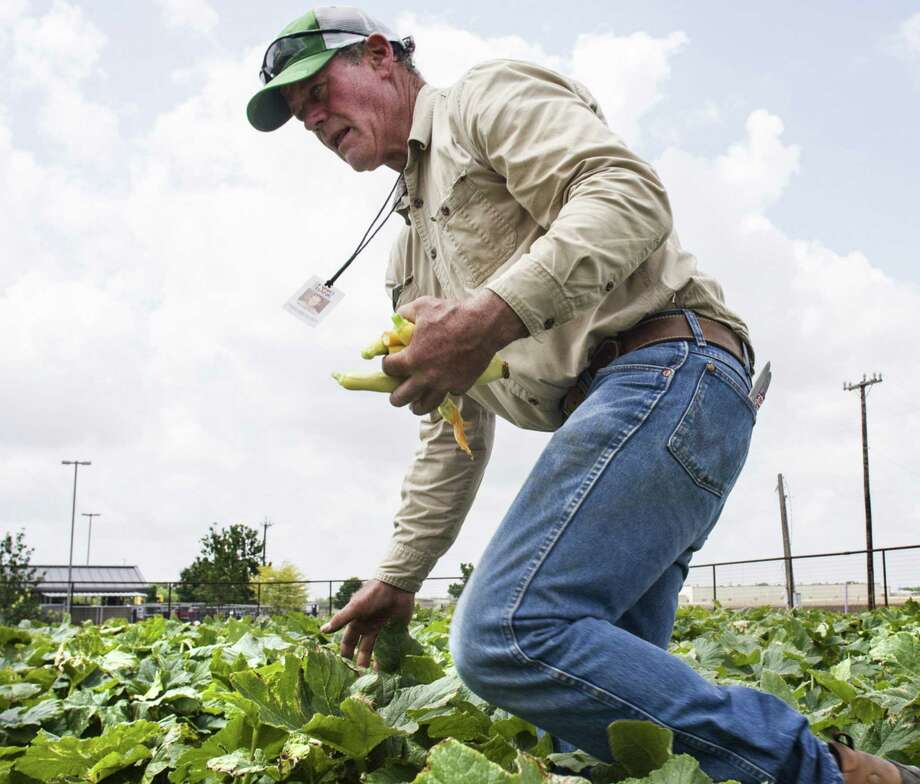Michael Persyn checks leaves at the San Antonio Food Bank's community garden at U.S. 90 and Texas 151 as he carries a handful of freshly picked yellow squash. Photo: Photos By Ricardo Segovia / For Alamo Heights Weekly