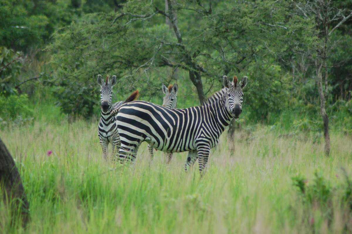 UC Davis scientists have learned why zebras, like these plains zebras in Katavi National Park in Tanzania, have stripes. It turns out, they could be great at repelling mosuitoes. Keep clicking for 13 things that attract the pesky, itchy little buggers.