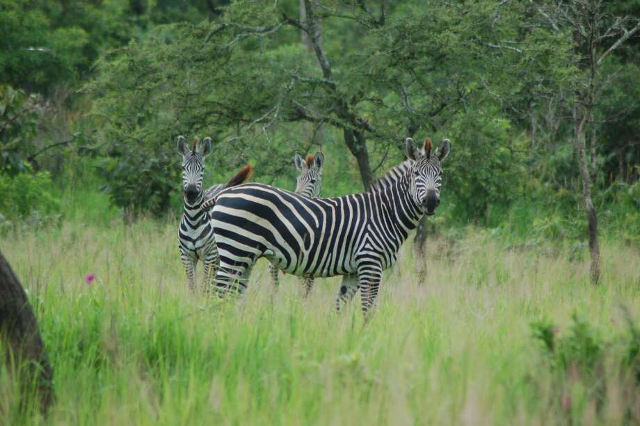 UC Davis scientists have learned why zebras, like these plains zebras in Katavi National Park in Tanzania, have stripes. It turns out, they could be great at repelling mosuitoes. Keep clicking for 13 things that attract the pesky, itchy little buggers.  Photo: Tim Caro/UC Davis