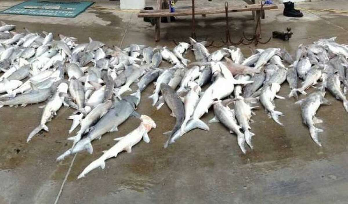 Almost 350 dead sharks lay on the ground outside of Coast Guard Station South Padre Island after their boat crew located a 5-mile-long gill net floating 4 miles offshore Dec. 24, 2012. There were 225 black tip sharks, 109 bonnet and 11 bull sharks.