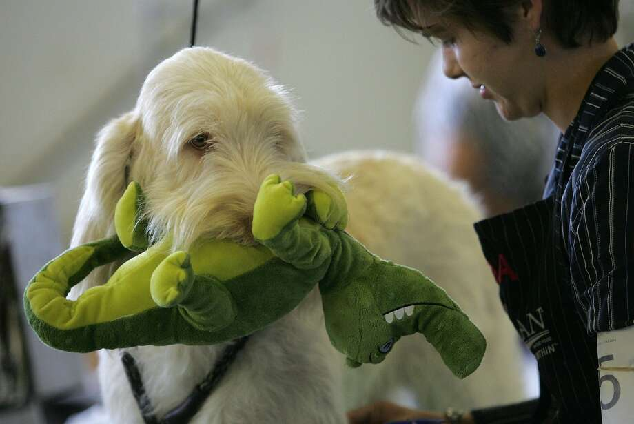 See you later, alligator:Hudson, a Spinone Italiano, chews his plushy reptile before taking a   turn in the ring at the Waterloo Kennel Club's annual dog show in Waterloo, Iowa. Photo: Dennis Magee, Associated Press