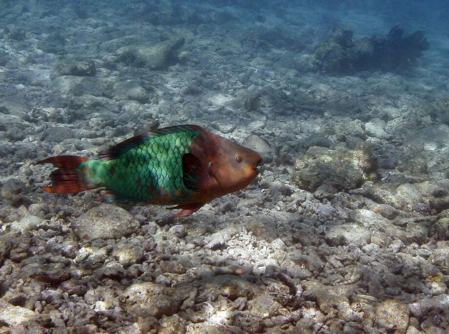 FILE - In this Aug. 16, 2008 file photo, a parrotfish is shown swimming over a dead coral reef in the Florida Keys National Marine Sanctuary near Key West, Fla. Colorful parrotfish and spindly sea urchins are the key to saving the Caribbean's coral reefs, which may disappear in two decades if no action is taken, a report by several international organizations said Wednesday, July 2, 2014. (AP Photo/Wilfredo Lee, File) Photo: Wilfredo Lee, Associated Press