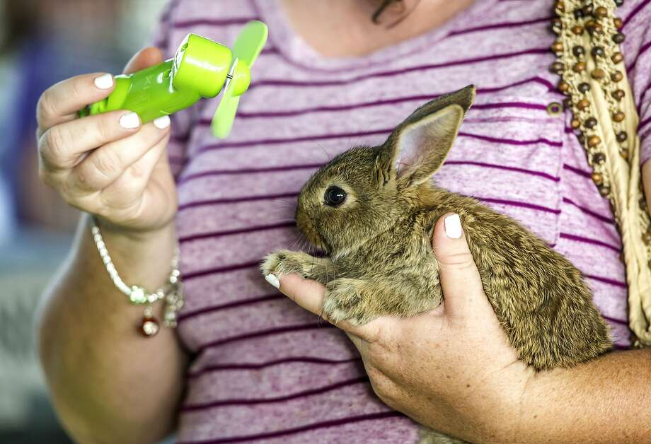 Hare blower: With a name like Hopanero, it's no wonder Teresa Sparkman's bunny needs a cool-down. Teresa's son was showing Hopanero in the Rabbit and Poultry Show at the Lincoln County Fair in Stanford, Ky. Photo: Clay Jackson, Associated Press
