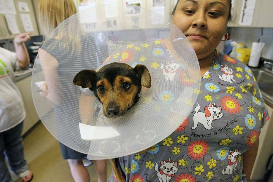 Think that cone collar is big enough? Connie Ojeda and the other med techs at Animal Care Services and San Antonio Pets Alive have made sure Shaggy can't lick his wound. The question is, can he sleep in that thing? Photo: Tom Reel, San Antonio Express-News