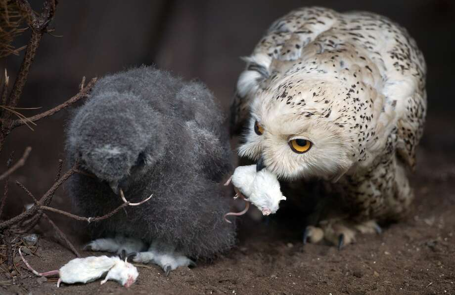Dead mouse again, Mom?! Lifeless rodent is frequently on the menu in the snow owl enclosure in Germany's