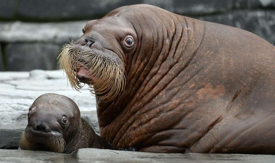 I am the walrus, you are the walrus ... Dyna watches her baby, who was born June 15 in their 