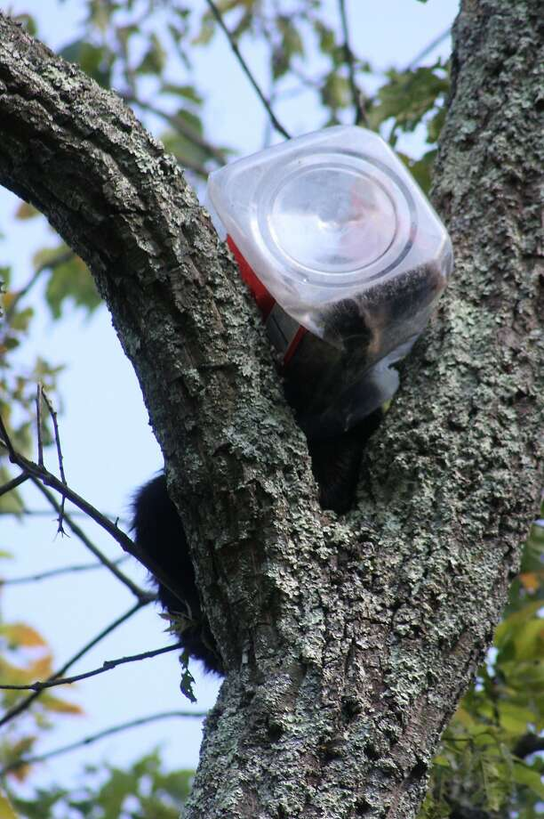 Caught with his head in the cookie jar: This black bear cub was rummaging through trash in Ringwood, N.J., when it got stuck. An Environmental Protection Department biologist tranquilized  the Pooh before staffers and firefighters lowered him down from the tree and carefully cut the jar off his head. Photo: Associated Press